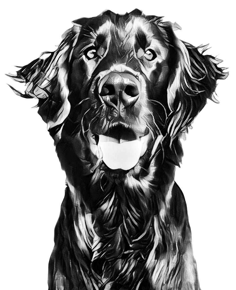 Denzil the Dog - Flat-Coated Retriever - Mevagissey